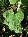 Lunaria annua sl16.jpg