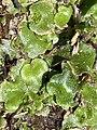 Lunularia cruciata 120690578.jpg