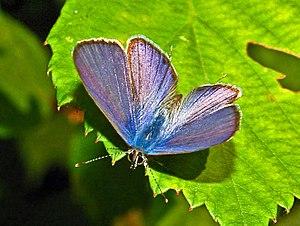 Kleiner Wanderbläuling (Leptotes pirithous), Männchen