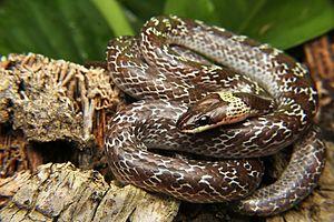 Lycodon capucinus - Lycodon capucinus from Pranburi Forest Park, Thailand.