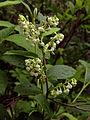 Lyonia ligustrina - Maleberry.jpg