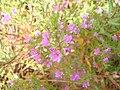 Lythrum junceum 1.JPG
