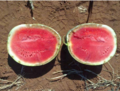 MNSV Discoloration of Rind.png