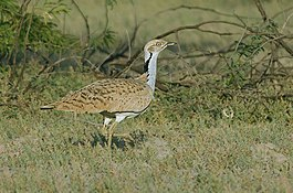 MacQueens Bustard in Greater Rann of Kutch, Gujarat, India.jpg