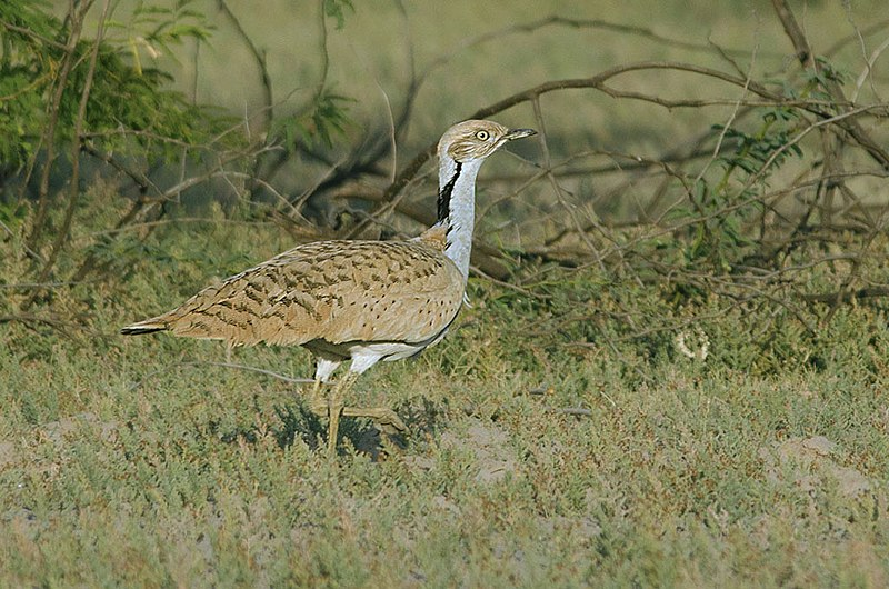 ファイル:MacQueens Bustard in Greater Rann of Kutch, Gujarat, India.jpg