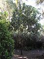 Macadamia tetraphylla - Jardin d'Éden 4.JPG