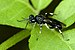 Macrophya ribis - Photo (c) James K. Lindsey, alguns direitos reservados (CC BY-SA)