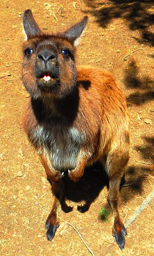 Diprotodontia - The prominent mandibular central incisors characteristic of the diprotodonts are evident in this Kangaroo Island kangaroo (Macropus fuliginosus fuliginosus)