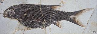 Semionotiformes Extinct order of fishes