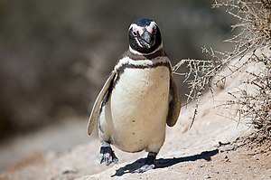 Magellanic penguin - Magellanic penguin on Argentina's coast