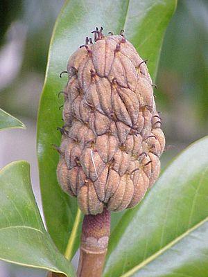 Magnolia grandiflora - M. grandiflora fruit