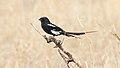 Magpie Shrike (Urolestes melanoleucus) (44745910470).jpg