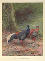 Malayan Crested Fireback by George Edward Lodge.png