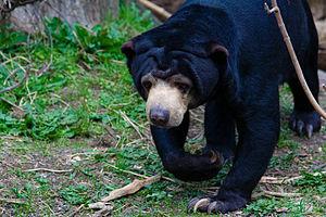 Foto Beruang Madu