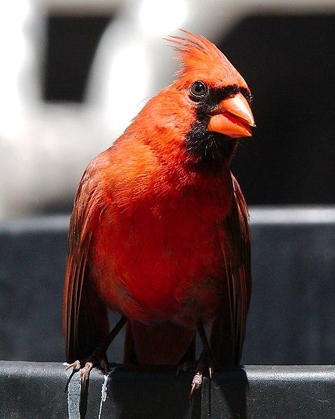 File:Male Northern Cardinal - Manhasset, NY 04.jpg