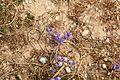 Malta - Mellieha - Triq ir-Ramla tal-Bir - Moraea sisyrinchium 01 ies.jpg