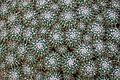 Mammillaria compressa in Tropengewächshäuser des Botanischen Gartens 04.jpg