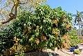 Mangifera indica 'Nam Doc Mai' - Marie Selby Botanical Gardens - Sarasota, Florida - DSC01674.jpg