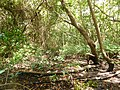 Mangrove (Guadeloupe).jpg