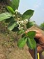 Maramulla മരമുല്ല. (Murraya paniculata). Orange Jasmine.jpg