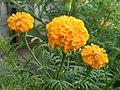 Marigold Flower oF Assam.jpg