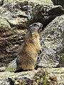 Marmotta alpina.jpg