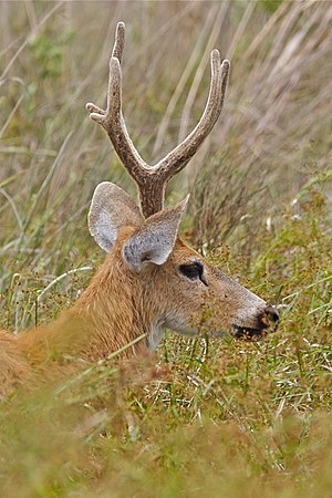 Marsh deer portrait.jpg