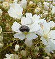 Mason bee (Osmia lignaria) (26134020756).jpg