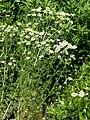 Matricaria chamomilla stem (07).jpg