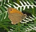 Meadow Brown Maniola jurtina (30822059198).jpg