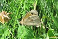 Meadow brown (NHtroj) (37909132386).jpg
