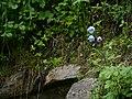 Meconopsis aculeata (7855611448).jpg