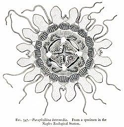 Medusae of world-vol03 fig347 Paraphyllina intermedia.jpg
