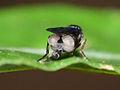 Megaselia sp. female display 02.jpg