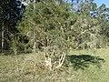 Melaleuca alternifolia habit.jpg