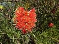 Melaleuca fulgens (flowers 4).JPG