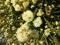 Melaleuca huttensis (flowers).JPG