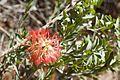 Melaleuca macronychia flowers.jpg