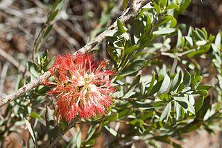 <i>Melaleuca macronychia</i> Species of shrub
