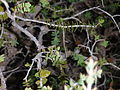 Melaleuca violacae.jpg