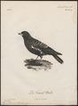 Melanocorypha tartarica - 1796-1808 - Print - Iconographia Zoologica - Special Collections University of Amsterdam - UBA01 IZ16100353.tif