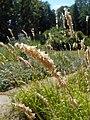 Melica altissima 2018-07-09 4858.jpg