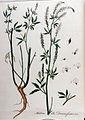 Melilotus alba — Flora Batava — Volume v11.jpg