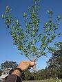 Melilotus indicus plant1 (10606166194).jpg