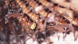 Melipona bicolor - M. bicolor Queen