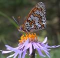 Melitaea cinxia.png