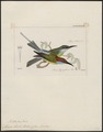 Merops bicolor - 1820-1863 - Print - Iconographia Zoologica - Special Collections University of Amsterdam - UBA01 IZ16800313.tif