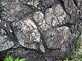 Metamorphosed pillow basalt (Ely Greenstone, Neoarchean, ~2.722 Ga; large glacial erratic along Main Street, Ely, Minnesota, USA) 16 (20831596894).jpg