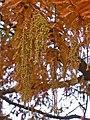 Metasequoia glyptostroboides 004.JPG