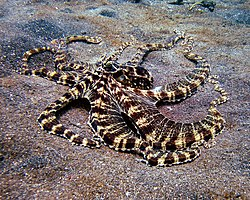 Mimic Octopus 1.jpg